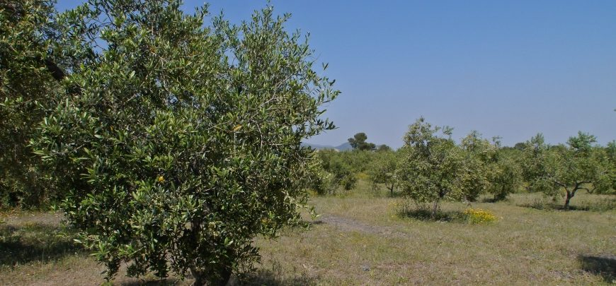 04-Olivenbäume-870x4051