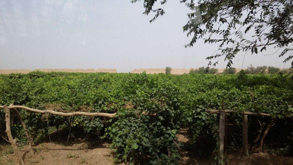 Weinfelder vor Gaochang (Angelika Holtz)