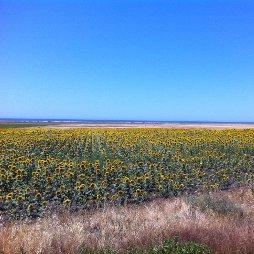 Sonnenblumenfeld in Andalusien