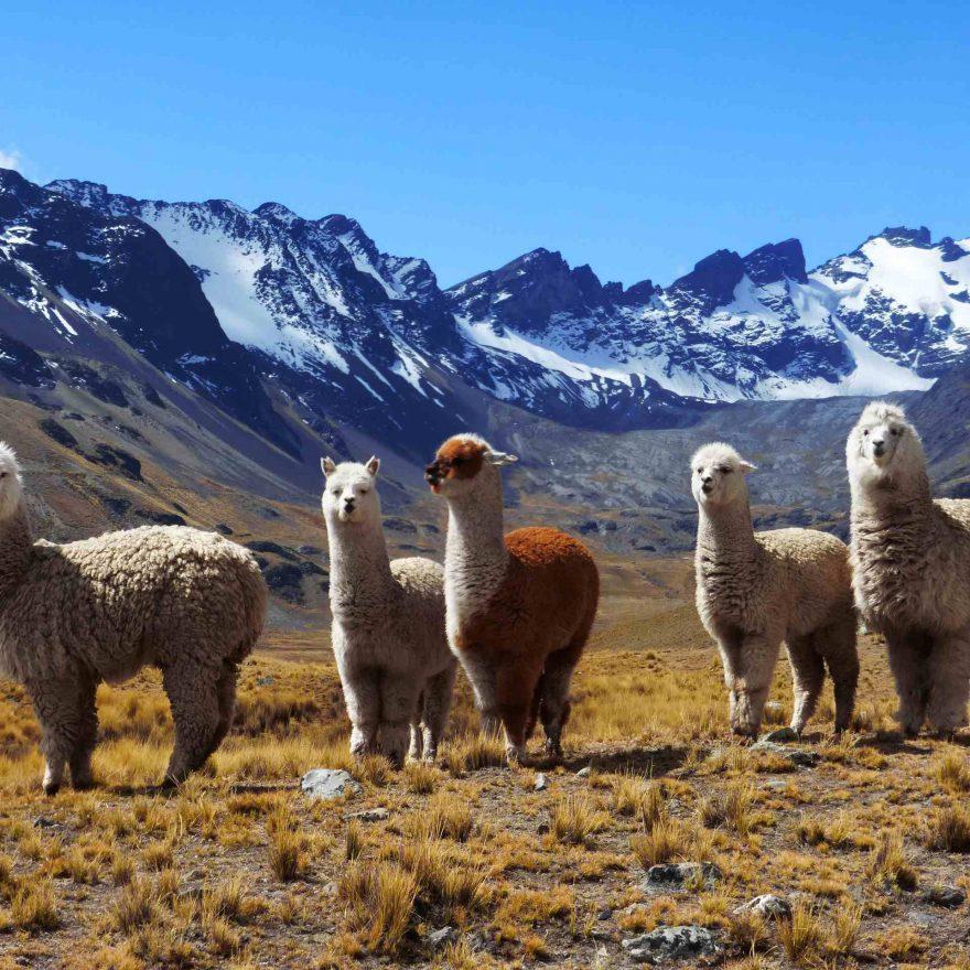 Alpacas Bolivien