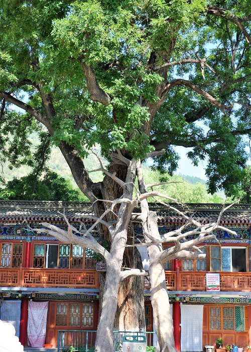 Akazie im Kloster