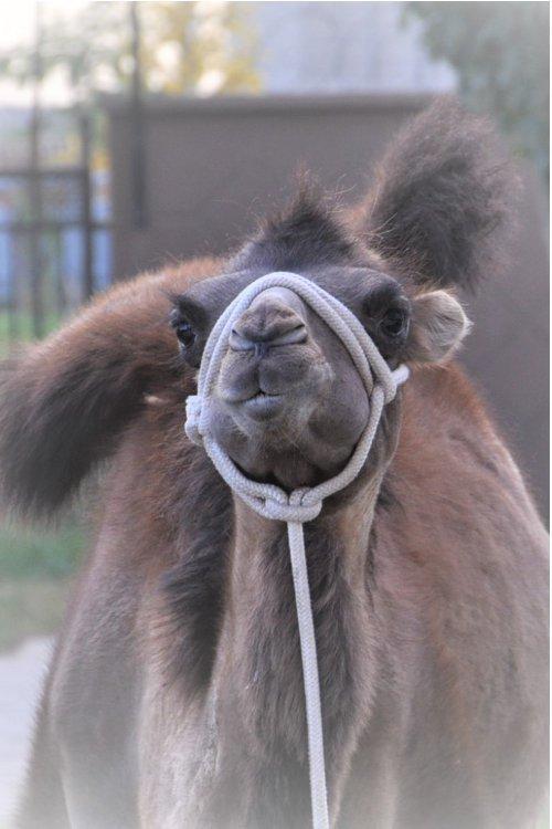 Ein Kameljunges hat Hunger (Claudia Kennel)