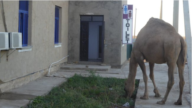 Kamel steht wartend vor der Toilette an