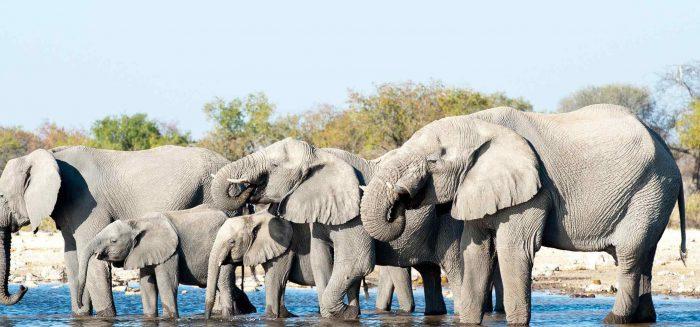 Etosha National Park Namibia, Africa elephants drinking.